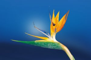 A bird of paradise flower in bloom.