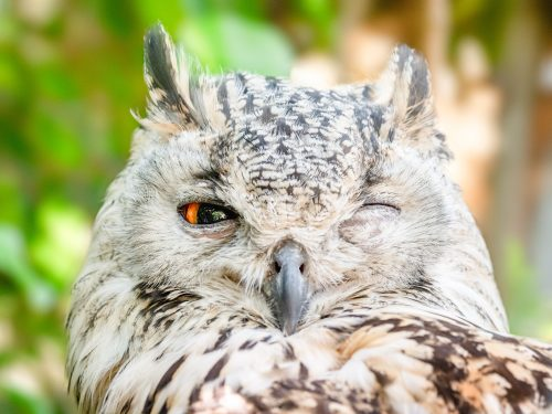Owl with one eye closed